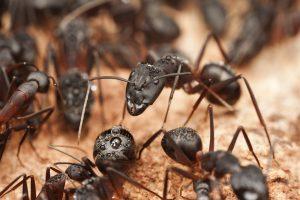 Ants - Pest control